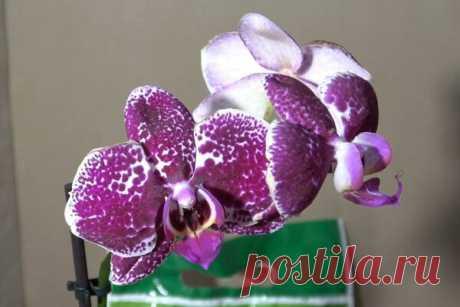 🌺 Пересаживаю орхидею 🌺 Передержка цветка после покупки и мой любимый грунт 🌺[+подробный видеообзор]🌺 | alla-Fi и Fiалки Комнатные цветы | Яндекс Дзен Доброго Вам дня, мои уважаемые читатели, гости, цветоводы и просто любители комнатных растений и домашних цветов. С Вами alla-Fi и сегодня я расскажу и покажу, как пересаживаю очаровательную орхидею после покупки в цветочном магазине