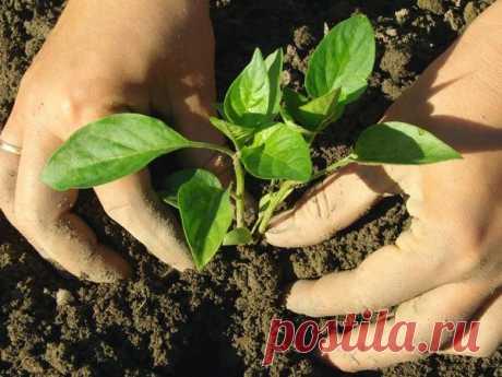 Сроки высадки рассады овощей в грунт и в теплицы