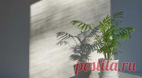 Особенности выращивания пальм в комнатных условиях на Supersadovnik.ru