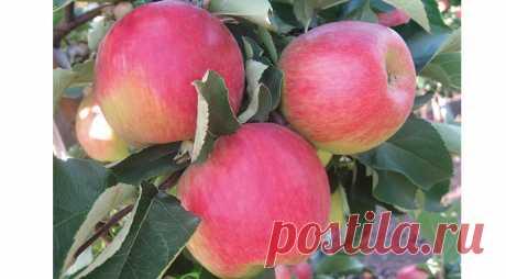Рекомендованные сорта яблонь и груш на Supersadovnik.ru