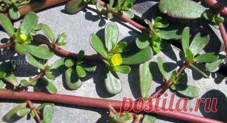 Портулак: лечебные свойства и применение вредоносного сорняка | Огородники