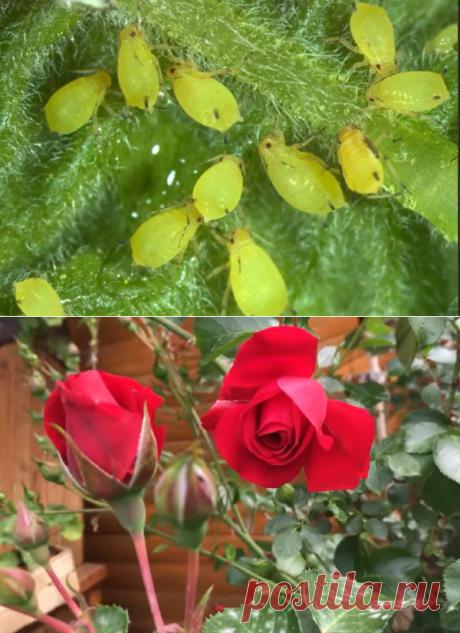 Тля больше не побеспокоит ваш огород после этого супер-средства! | 4 СЕЗОНА | Яндекс Дзен