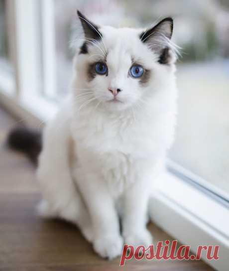 Кошачий бомонд: самые красивые кошки в мире