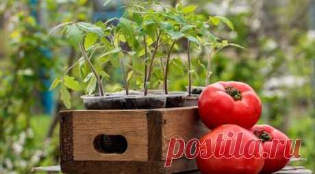 Когда сажать томаты на рассаду в 2019 году по лунному календарю: таблица Когда сажать томаты на рассаду в 2019 году по лунному календарю: таблица. Каковы полезные свойства томатов. Какие дня благоприятны для посадки.