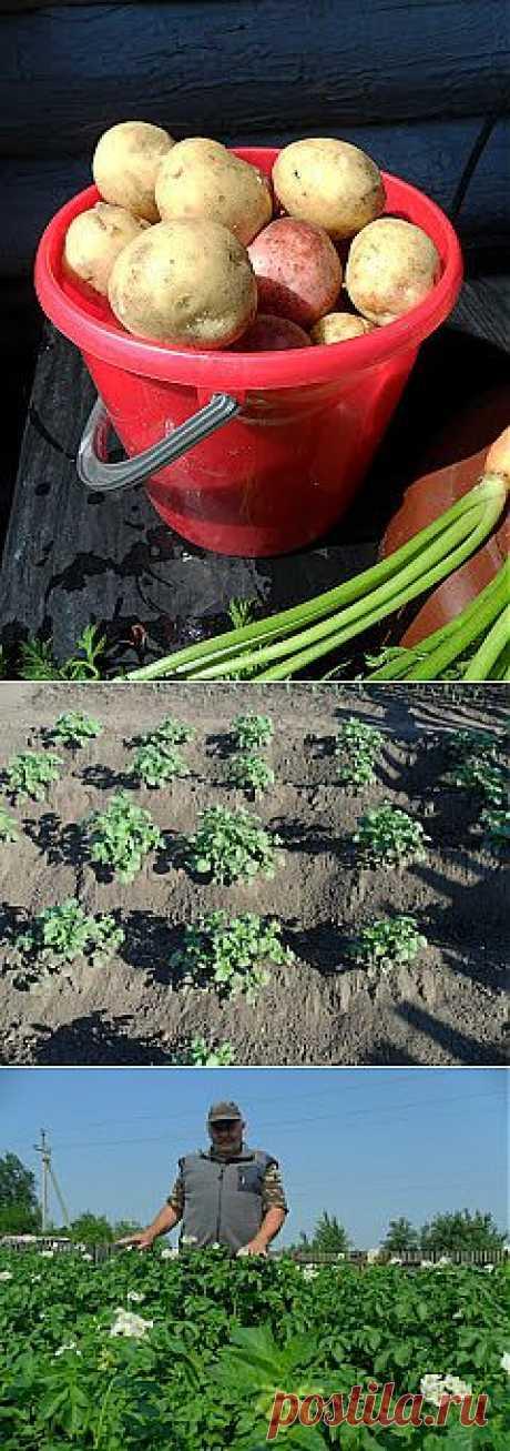 Как вырастить хороший урожай картофеля на даче  Но поскольку специально выделять место под картофель на маленьком дачном огородике было бы непозволительной роскошью, то я размещаю его в основном как уплотнитель между кустами молодой смородины, яблоньками и другими плодовыми культурами.