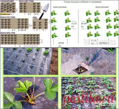 Посадка клубники весной и осенью в открытый грунт: способы и методы