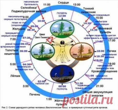 Часы работы нашего организма