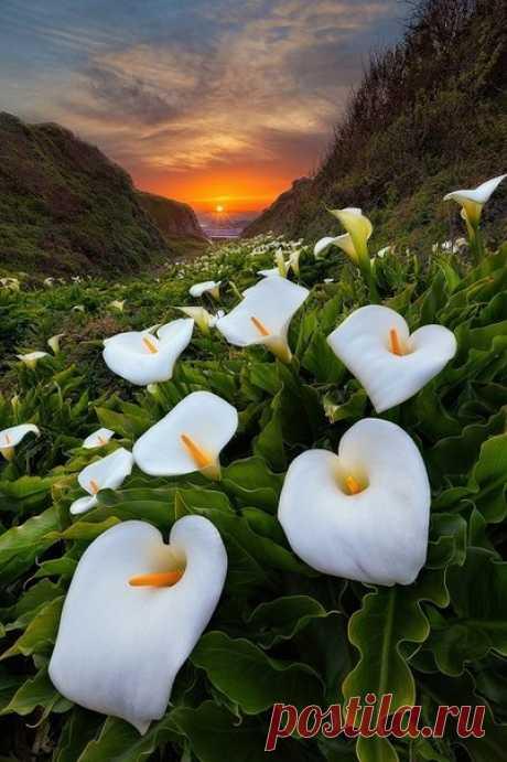 Цветы каллы в калифорнийской долине. США