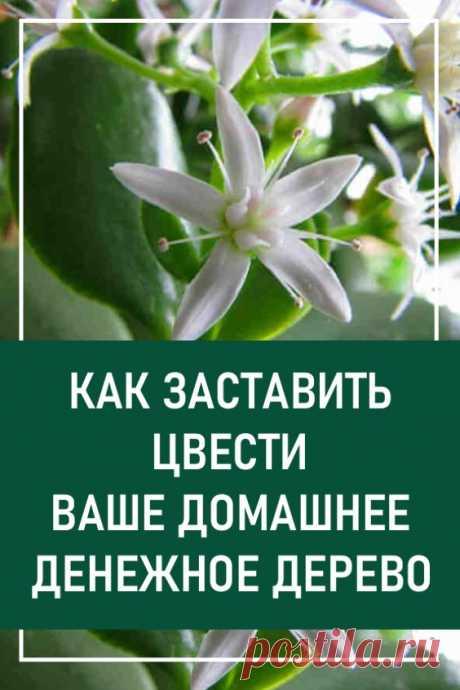 Как заставить цвести ваше домашнее денежное дерево. А вы знаете, что денежное дерево цветет?    И это очень хорошая примета. В народе говорят: «В доме, где цветет денежное дерево, всегда будут достаток и благополучие».