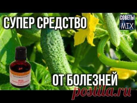 Обработка огурцов йодом и молоком. Рецепты для защиты, профилактики и лечения огурцов - YouTube