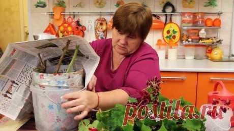 Как сохранить герань и фуксию зимой: советы Ю.Миняевой. Видео