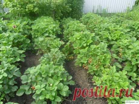 Выращивание земляники садовой по методу Козлова С.Ф.