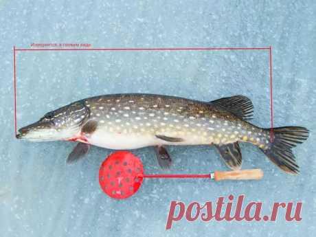 Минимально разрешенные к вылову размеры рыб и суточные лимиты,для Волжско-Каспийского бассейна