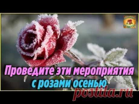 ОБЯЗАТЕЛЬНО проведите эти мероприятия С РОЗАМИ ОСЕНЬЮ Подготовка роз к зиме Цветоводам НА ЗАМЕТКУ