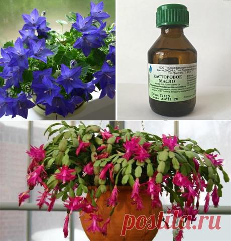 Подкормка цветов касторовым маслом: они будут цвести пышно и долго