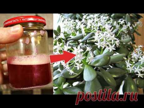 Отвар заставляет цвести даже денежное дерево и алоэ! Приготовьтесь к невероятному цветению цветов!