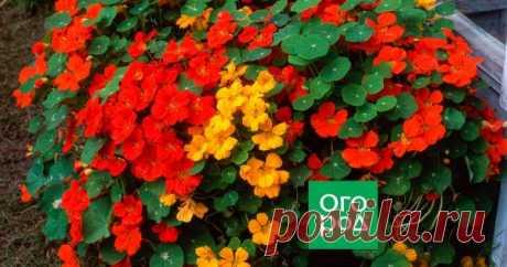 Чем заменить петунию: 5 цветов, которые проще в уходе Петуния – одно из самых любимых растений цветоводов. Ее используют для украшения балконов, окон, террас, для городского озеленения. Однако есть немалое количество цветов, которые так же красивы, как петуния, но при этом менее требовательны в уходе.