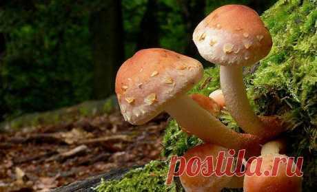 10 грибов из черного списка грибников: ложные опята обходим в лесу стороной
