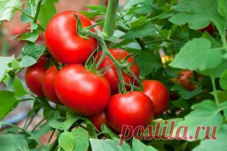 Хитрость с солью помогает мне собирать по 40 кг помидоров с 1 кв.м. грядки