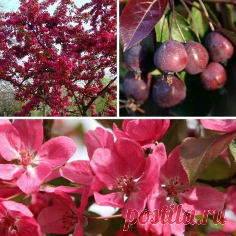5 деревьев и кустарников с фиолетовой и красной листвой