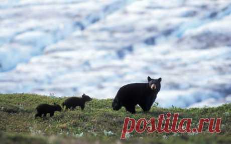 Медвежья  семья...