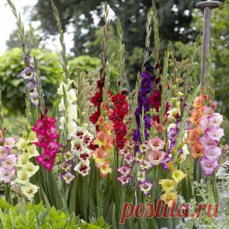 Выращивание гладиолусов На сегодняшний день садоводами выведено  более 200 видов этого удивительного цветка, а число сортов, украшающих  собой сады в разных уголках земли, превышает 10 тысяч. Некоторые виды  исчезают, но каждый год выводятся новые сорта с еще более невероятными  оттенками и гофрировкой цветка. ...