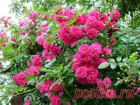 Группы плетистых роз: фото и описание, видео обрезки и размножения, лучшие сорта плетистых роз