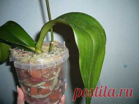 STEP-BY-STEP INSTRUCTION FOR FALENOPSIS'S CHANGE (ORCHID)\u000aWe collected this information on particles, keep for yourself and you share with friends. Tried for you, expensive). You will not find in the Internet of it.\u000aStep 1\u000aGet an orchid from a pot and put it in a wide basin. That it was easier for you to pull out an orchid, you remember slightly pot walls. If it does not help – accurately not to damage air roots of a falenopsis, cut or break an old pot.\u000aUsually, than stronger it is developed root at falenop