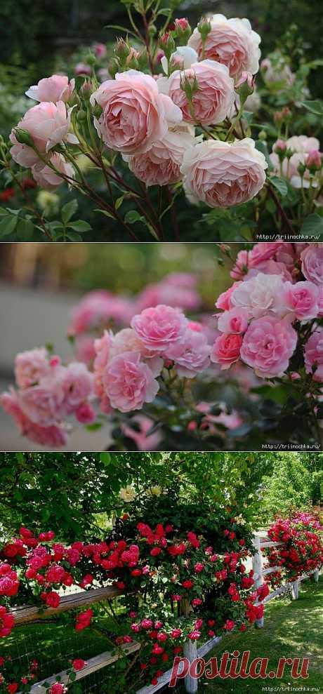 Плетистые и парковые розы! Нужен совет!.