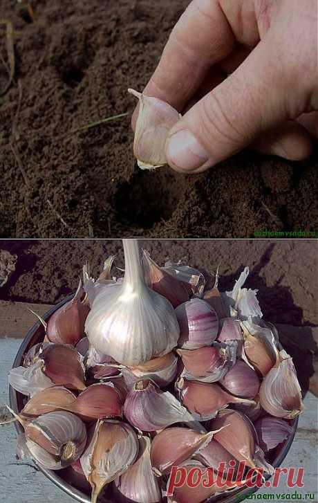 Как правильно сажать чеснок | Азбука садовода