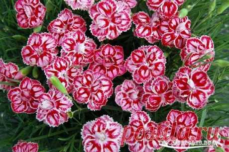 Какие цветы сеять на рассаду в январе   Сейчас мы выбираем те цветочные культуры, у которых срок от посева до начала цветения составляет 130-180 дней. В эту группу попадают как однолетние, так и многолетние неторопливые растения. Посеяв их до конца января (в крайнем случае в начале февраля), можно увидеть цветы уже в июне. А многолетники в этом случае, что очень важно, зацветут в первый же год! Что же это за цветы?   1. Антирринум большой, или львиный зев  Антирринум больш...