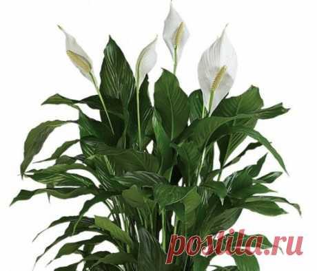 Почему не цветет спатифиллум в домашних условиях? Как заставить спатифиллум цвести - Sadovnikam.ru