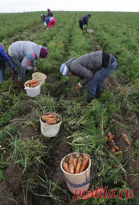Куда деть ботву после уборки урожая? | 6 соток