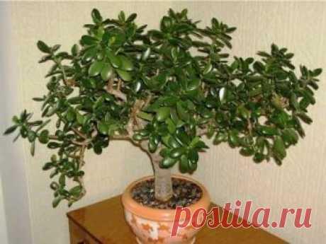 Очень многие выращивают у себя «Денежное Дерево». Так вот, знайте, что вы поливаете и выращиваете… | Pofu.ru - Всё обо всём!