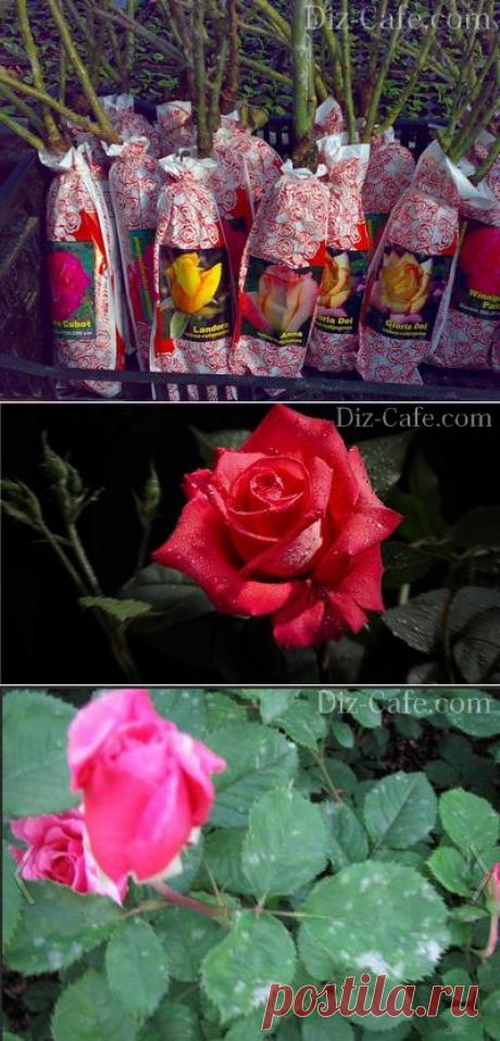 Посадка и уход за розами в саду: правила выращивания и размножения