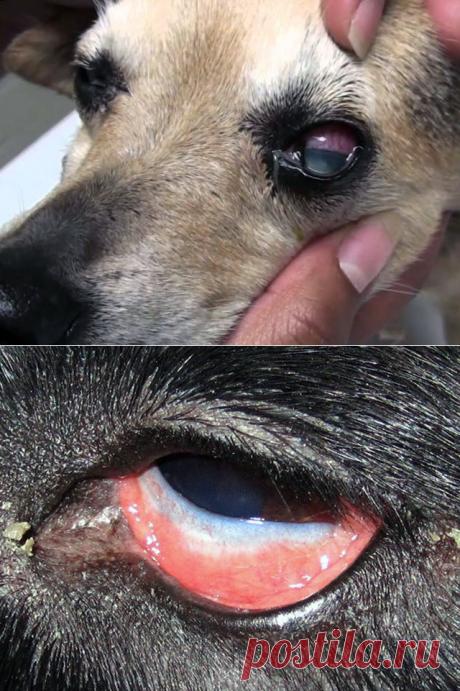 Конъюнктивит у собак – лечение воспаления глаза