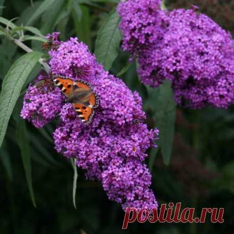 Будлея — фото и описание кустарника, посадка и уход в открытом грунте