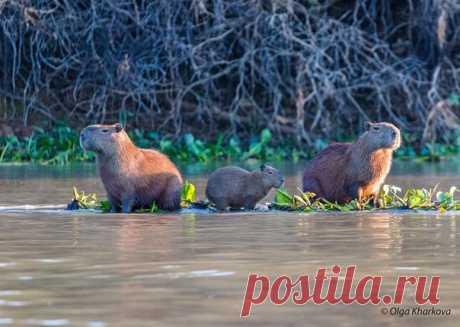 Семейство капибар отдыхает в водоёме Северного Пантанала (Бразилия). Снимала Ольга Харькова: nat-geo.ru/community/user/223376/ И нам с вами пора отдохнуть. И необязательно в водоёме. Доброй ночи.