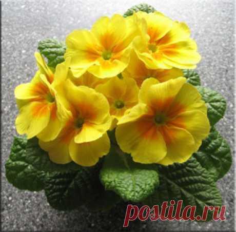 Примула (Первоцвет), (Primula). Описание, виды и уход за примулой