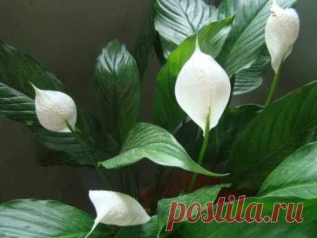 Основные причины засыхания и почернения цветов и листьев спатифиллума