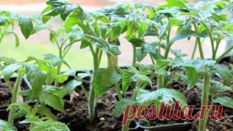 3 причины, почему помидоры нельзя сажать на рассаду слишком рано | 6 соток