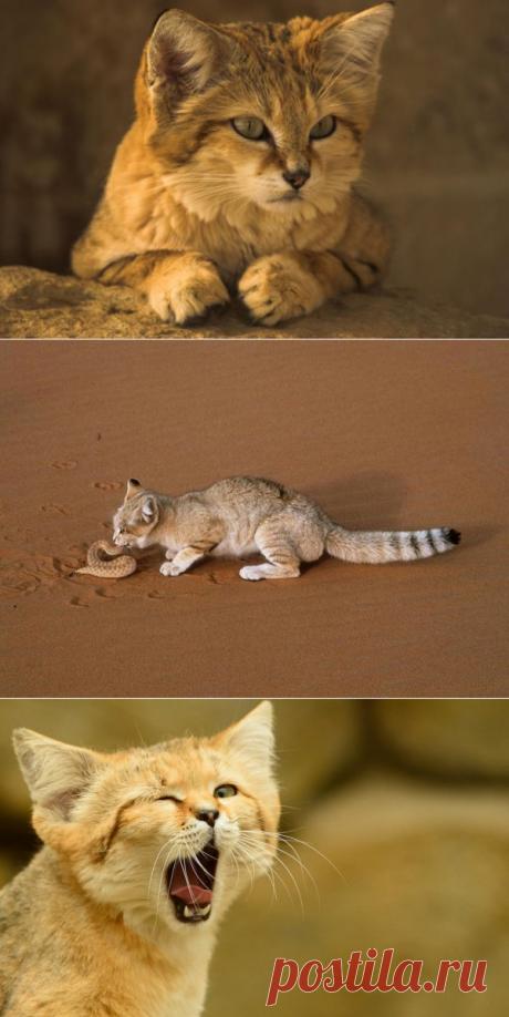 Барханный или песчаный кот. Галерея фото