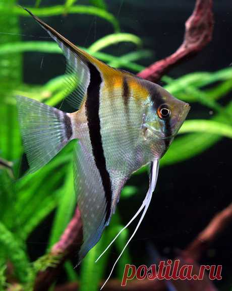 Эффектные скалярии – самые популярные и наиболее широко распространённые аквариумные рыбки. Их любят за необычную форму тела и неспешную грациозность движений. В уходе и кормлении скалярии нетребовательны, их нетрудно разводить в домашних условиях.