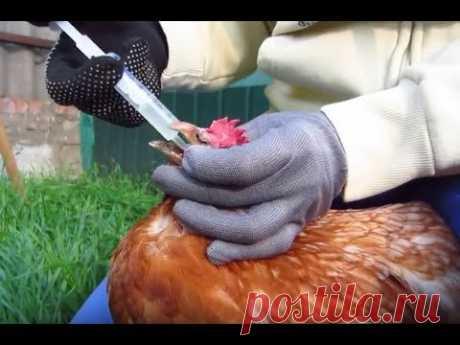 Болезни кур!  Лечение самогоном и луковым соком!
