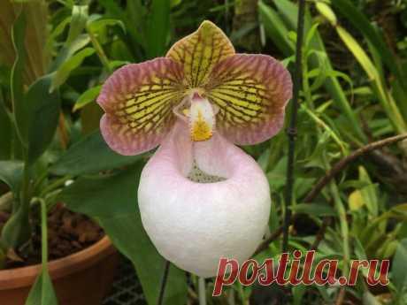 У этой орхидеи много имен: от официального и сложнопроизносимого латинского до романтичного «Серебряный башмачок». В культуре она цветет редко, но сейчас повезло Ботаническому саду МГУ.