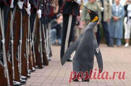 В 1961 году лейтенант норвежской королевской стражи Нильс Эгелин посетил Эдинбургский зоопарк, где больше всего ему запомнилась колония пингвинов. Когда гвардейцы вернулись в город в 1971 году, Эгелин уговорил руководство взять опеку над одним из пингвинов и назвать его в честь себя самого, а также короля Норвегии Олава V. Таким образом животное получило двойное имя: Нильс Олав. Более того, руководство стражи пошло дальше и произвело пингвина в чин младшего капрала. Каждый раз, когда стража…