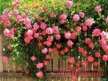 Все  розы делят, прежде всего, на дикорастущие, старые и современные с дальнейшим подразделением на группы. Дикие розы и почти все старые сорта цветут пышным цветом, но только однажды. Большинство современных сортов, в том числе и парковых роз сочетают в себе красоту традиционных видов с чарующим ароматом и способностью цвести весь сезон.