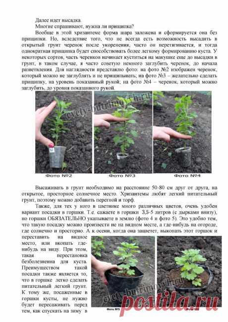 Советы по выращиванию хризантем мультифлора