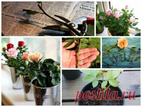 Соседка рассказала, как укоренить розу из подаренного букета. Теперь у меня дома настоящий розарий