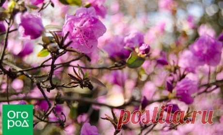 Рододендроны весной: удобрение и уход | В цветнике (Огород.ru)